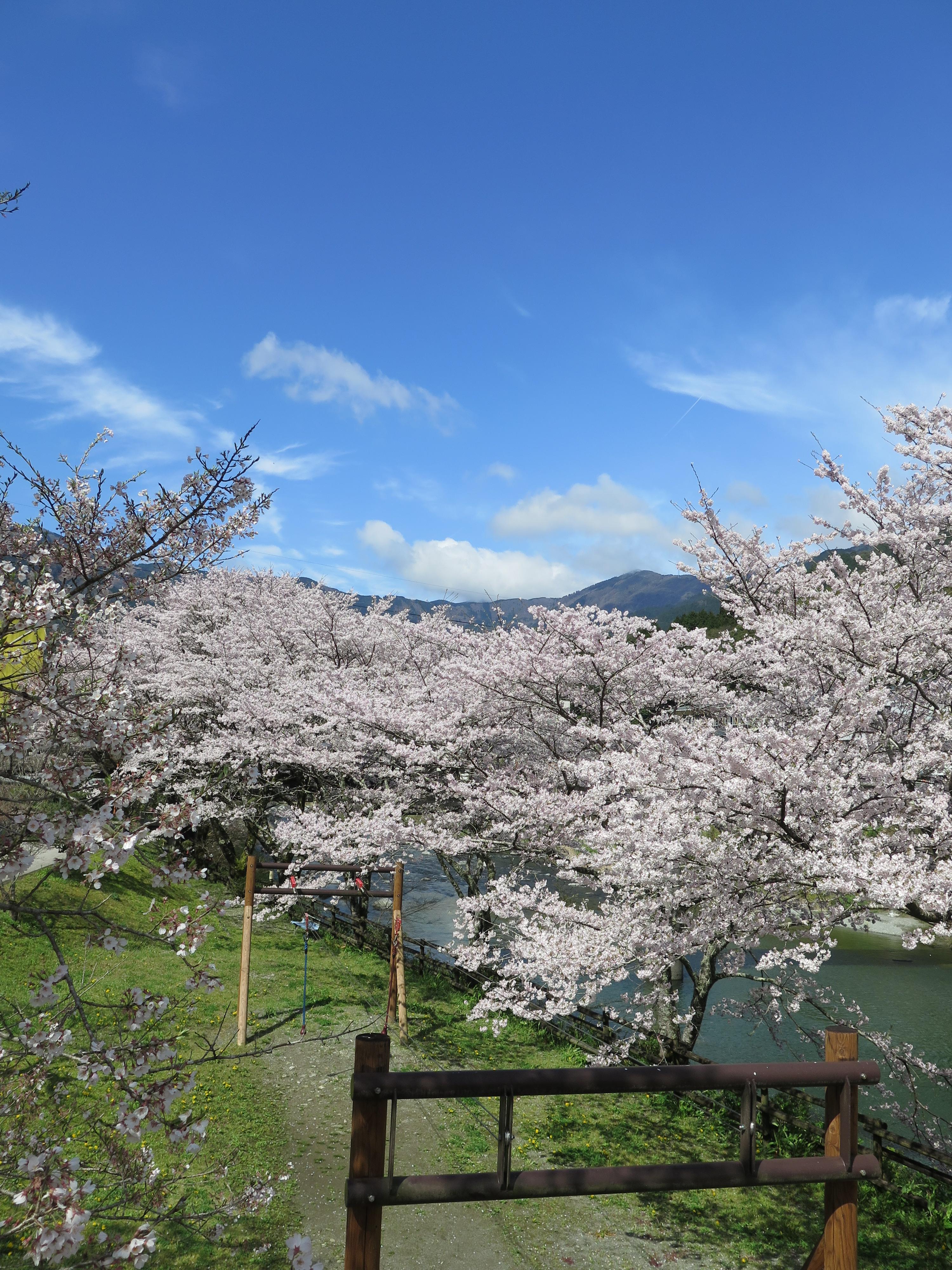 【アクセス注意!】ロードバイクで訪れてみたよ!ひょうたん桜&桜の名所3選。