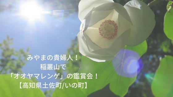 みやまの貴婦人!稲叢山で「オオヤマレンゲ」の鑑賞会!【高知県土佐町/いの町】